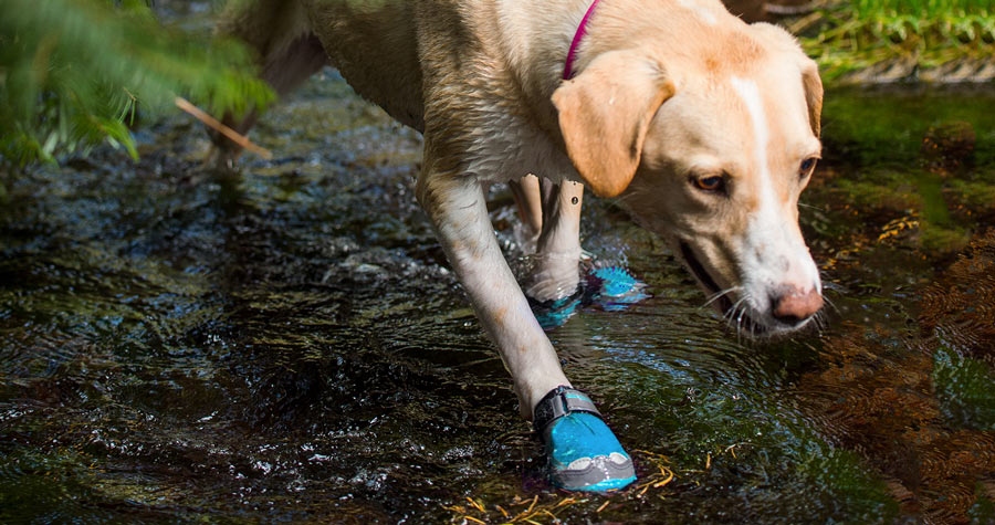 a trail running dog with booties on wading in the water