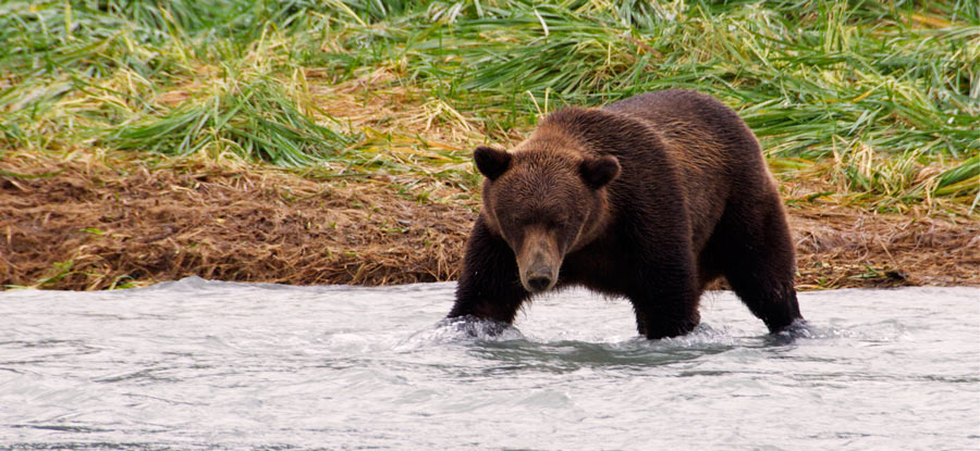 grizzly bear in the landscape